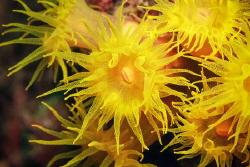 Solar coral of Tubastraea. by Sergey Lisitsyn