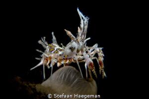 Tiger Shrimp by Stefaan Haegeman