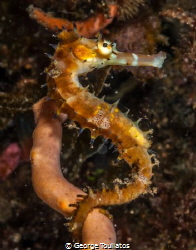 Spiky Seahorse!!! by George Touliatos