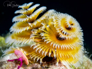 When I took this image of the Christmas Tree Worm, I saw ... by Patricia Sinclair