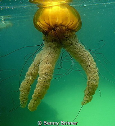 Sea Nettle, Monterey California by Benny Brimer