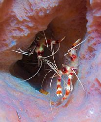 Banded Coral Shrimp in Azure Sponge. Roatan, Bay Islands.... by Jennifer Temple
