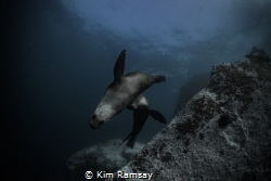 New Zealand Fur Seals by Kim Ramsay
