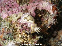 Two nudibranchs Goniobranchus geminus & Goniobranchus coi by Hansruedi Wuersten