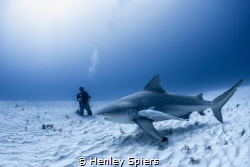 Shark Tourist by Henley Spiers