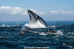 sardine run - feeding frenzy by Claudia Weber-Gebert