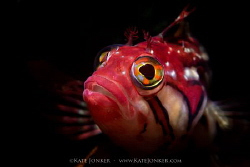 """Just call me """"Red"""" A beautiful Red Klipfish poses for me... by Kate Jonker"""