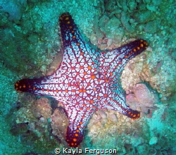 A vibrant starfish, off the Pacific Coast of Costa Rica! ... by Kayla Ferguson