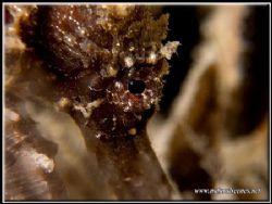 Thorny Sea Horse eye close-up. by Yves Antoniazzo
