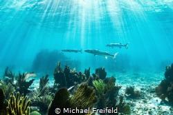 An iconic Florida Keys scene. Barracuda on the prowl for ... by Michael Freifeld