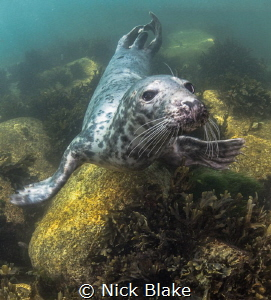 Atlantic Grey Seal, Lundy Island by Nick Blake