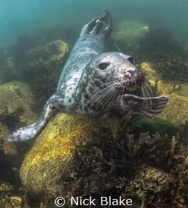 Atlantic Grey Seal, Lundy Island by Nick Blake