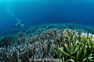 Diver over a beautiful field of staghorn coral by Joerg Blessing