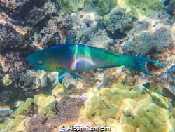 Parrotfish, Ahihi Bay, Maui by Alison Ranheim
