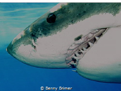 Great White Shark, Guadalupe Island by Benny Brimer