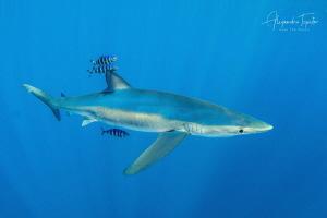 Blue Shark, Cabo San Lucas  México by Alejandro Topete
