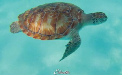 Green turtle by Eduard Bello