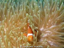 False clown Anemonefish (Clownfish) - Amphiprion ocellaris by Hansruedi Wuersten