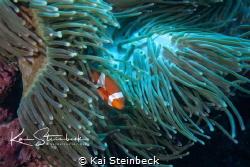 Just a cute clown fish by Kai Steinbeck