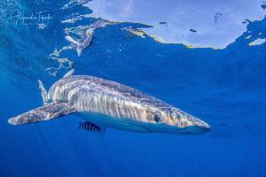 Blue Shark in surface, Cabo San Lucas México by Alejandro Topete