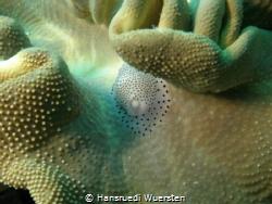 Black Spotted Egg Cowries - Calpurnus verrucosus by Hansruedi Wuersten