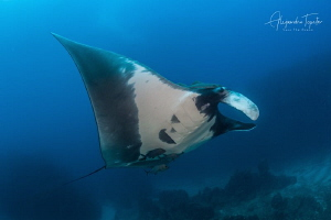 Mantaray and the Reef, Socorro Island México by Alejandro Topete