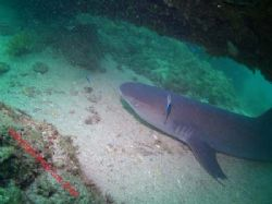 White tip reef shark at Navy Pier Exmouth by Brad Cox