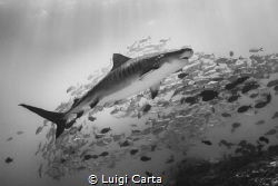 Tiger Shark in the sea of Maldives