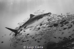 Tiger Shark in the sea of Maldives Canon EOS-1 Ds III in... by Luigi Carta
