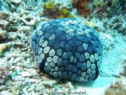 Cushion Starfish - Halityle regularis by Hansruedi Wuersten