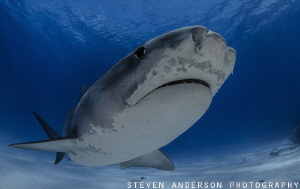 Tiger Tiger Tiger - Tiger Shark at Tiger Beach - Bahamas by Steven Anderson