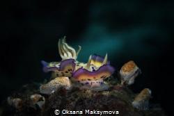 Nudibranch Goniobranchus kuniei. Picture was taken in Amb... by Oksana Maksymova