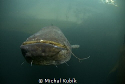 Catfish by Michal Kubík