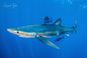 Blue Shark with pilots, Cabo San Lucas México by Alejandro Topete