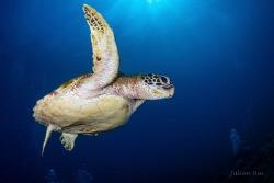 Green sea turtle by Julian Hsu