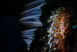 Anemonefish eggs by Julian Hsu