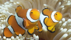 2 clownfish doing their thing. by Sam Taylor