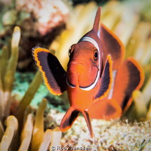 Tomato clownfish by Rudy Janssen
