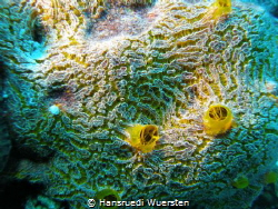Yellow boring sponge Cliona celata (not 100%sure) by Hansruedi Wuersten
