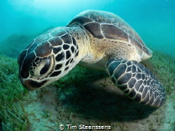 Green turtle in the bay of Abu Dabbab by Tim Steenssens