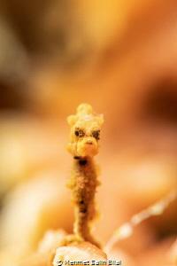 Very small but charismatic yellow bargibandi pygmy seahor... by Mehmet Salih Bilal