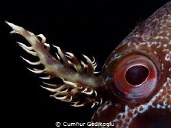 Parablennius gattorugine It's eye & branched head tentacles by Cumhur Gedikoglu