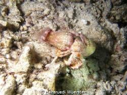 Jeweled Anemone Hermit Crab - Dardanus gemmatus by Hansruedi Wuersten