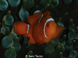 Baby Spinecheek Anemonefish by Sam Taylor