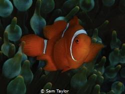 Baby Spinecheek Anemonefish by Sam Taylor