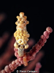 pygmy portrait by Marco Caraceni