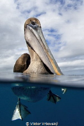 Curious Brown Pelican (Isla Daphne Mayor, Galápagos) by Viktor Vrbovský