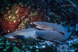 White Tip Sharks, Roca Partida México by Alejandro Topete