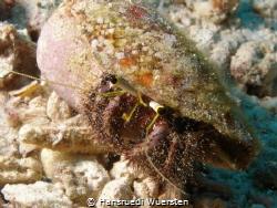 Hairy Red Hermit Crab - Dardanus lagopodes by Hansruedi Wuersten