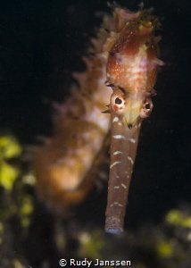 Sea horse Hippocampus histrix by Rudy Janssen